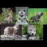 Wolfling Pack