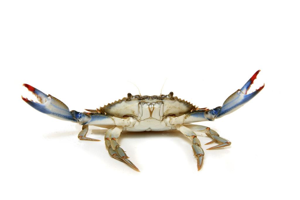 Chairman Crab