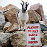 Familiar Goat