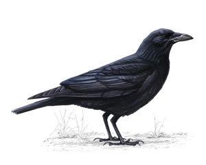Crow 1, aka Nordak