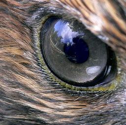 Implant Hawk Eyes