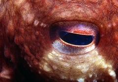 Implant Octopus Eye