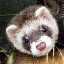 Feets the Ferret