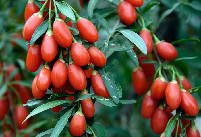 Wolf Berries