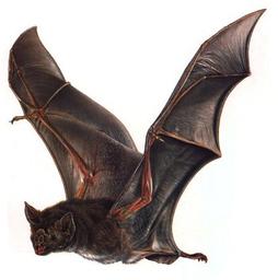 Bat Form