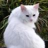 Haggis - The Scottish Cat Spirit