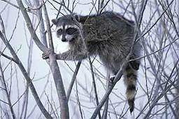 Raccoon-The-Shadowed-Climber