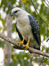 Clanger's Hawk Gertrude