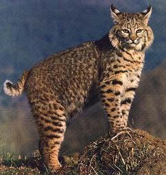 Prince the Bobcat