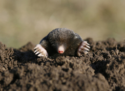 Mole Number 1 (Terrac the Meat Render)
