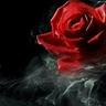 Jacobin Rose