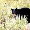Bellow the Bear
