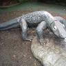 Komodo Lizard