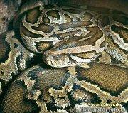 Giant Python