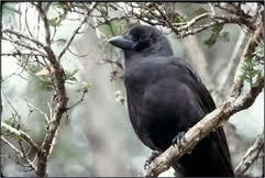 Short-Billed Crow