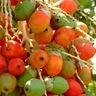 Red Betelnut