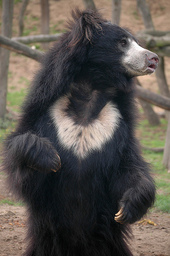 Anastasia's Sloth-Bear