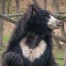 Anastasia's Sloth-Bear