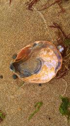 Muschelschale aus dem Servos