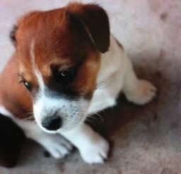 Foxglove's dog