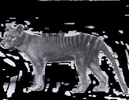 Scruffy the thylacine