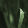 Devil's Grass