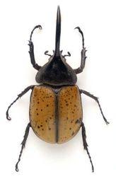 Shaqat beetles