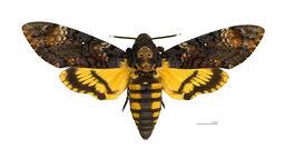 Matchbox Moth