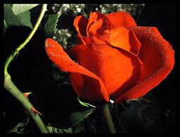 Armor of the Celestial Rose
